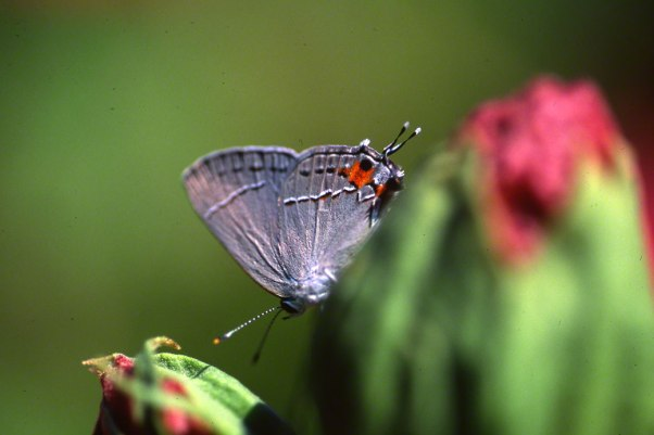 Gray Hairstreak Butterfly photographed by Jeff Zablow at Phipps Conservatory, Pittsburgh. Jeff blogs about the art and science of butterflies at http://www.wingedbeauty.com