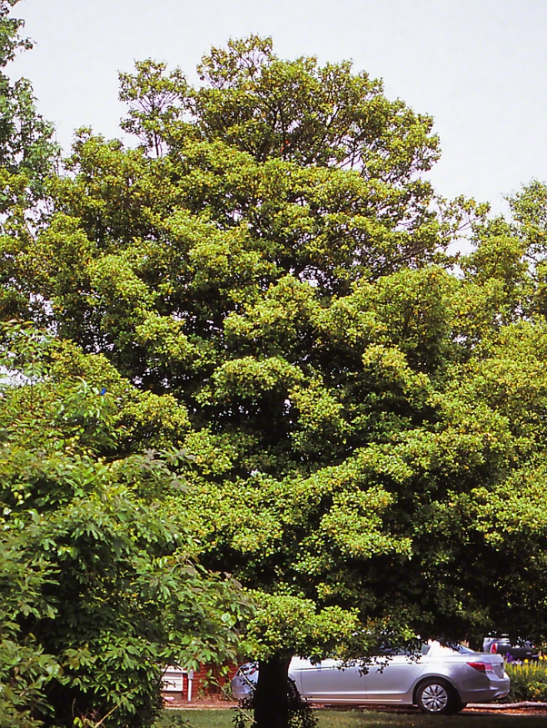 American Holly tree photographed by Jeff Zablow at Eastern Neck National Wildlife Refuge, Rock Hall, MD