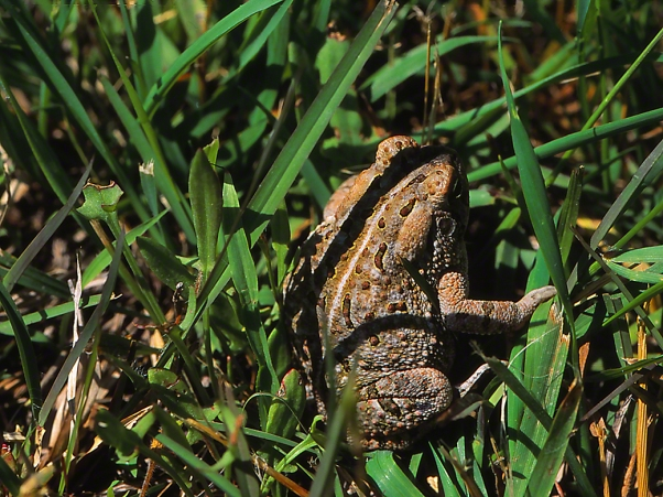 Toad photographed by Jeff Zablow at Eastern Neck National Wildlife Refuge, Rock Hall, MD