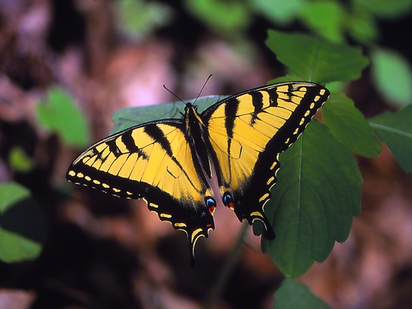 Tiger swallowtail butterfly photographed by Jeff Zablow at Raccoon Creek State Park, PA