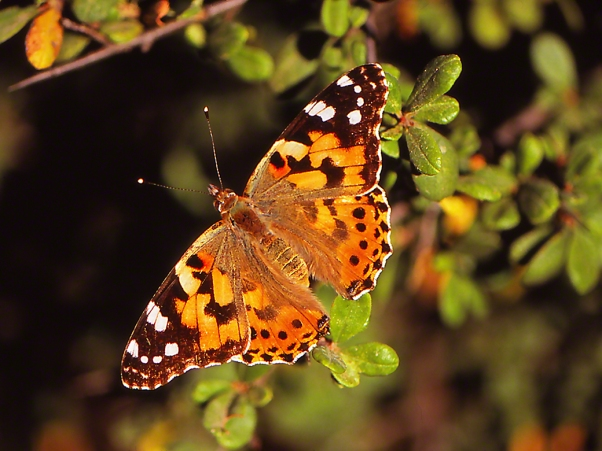 Painted Lady butterfly photographed by Jeff Zablow at Mt. Meron, Israel