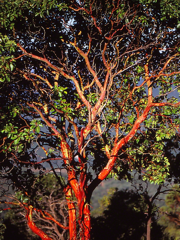 Eastern strawberry tree photographed by Jeff Zablow at Mt. Meron, Israel