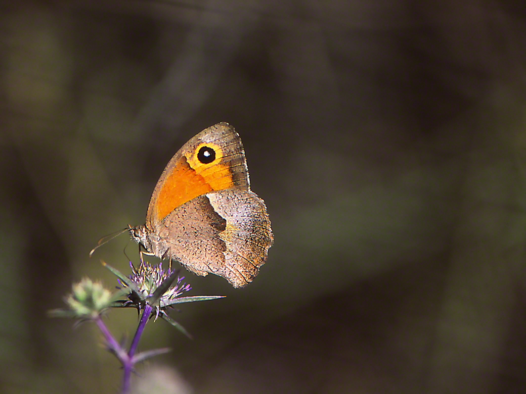 Maniola Telmessia (female) photographed by Jeff Zablow at Mt. Meron, Israel