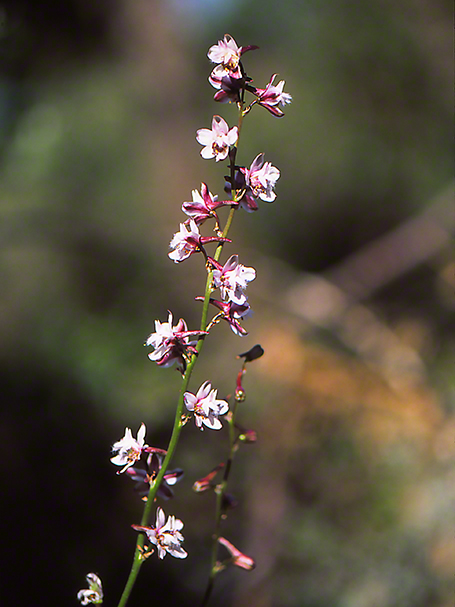 Wildflower photographed by Jeff Zablow at Mt. Meron, Israel