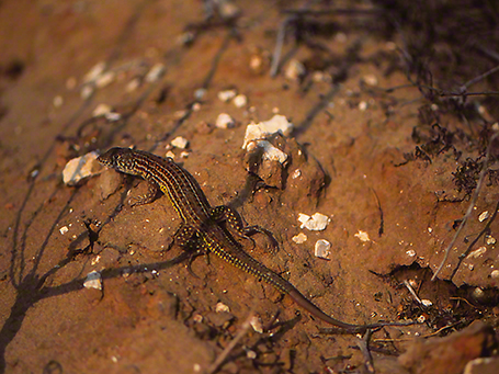 Lizard photographed by Jeff Zablow at Mishmarot, Israel