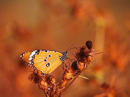 Plain Tiger butterfly photographed by Jeff Zablow at Mishmarot, Israel