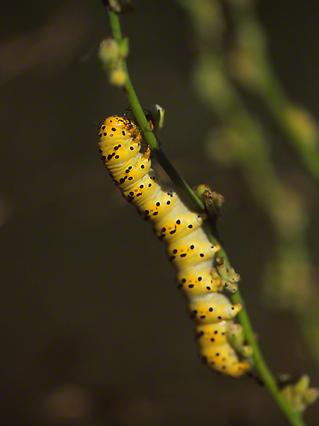 Caterpillar photographed by Jeff Zablow at Mt. Meron, Israel