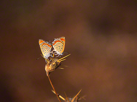 Lycaena Thersamon photographed by Jeff Zablow at Mishmarot, Israel
