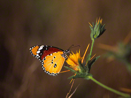 Plain Tiger butterfly photographed by Jeff Zablow at Mt. Meron, Israel
