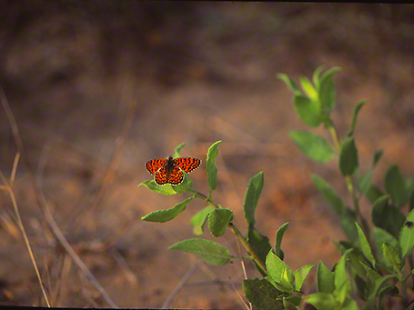 Lycanea Thersamon butterfly photographed by Jeff Zablow at Mt. Meron, Israel
