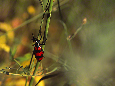 Beetle photographed by Jeff Zablow at Mt.Meron
