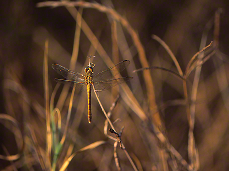 Darner dragonfly photographed by Jeff Zablow at Mishmarot, Israel