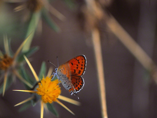 Lycaena Thersamon photographed by Jeff Zablow at Mt. Meron, Israel