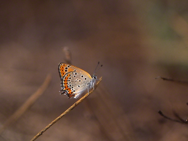 Lycaena Thersammon photographed by Jeff Zablow at Mt. Meron, Israel