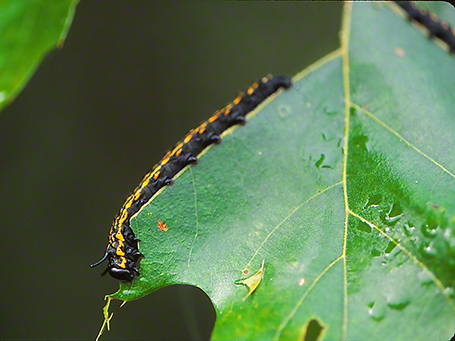 Moth Caterpillar photographed by Jeff Zablow at Raccoon Creek State Park in Pennsylvania