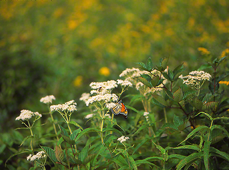 Monarch Butterfly and White Blooms photographed by Jeff Zablow at Raccoon Creek State Park in Pennsylvania, 9/4/14