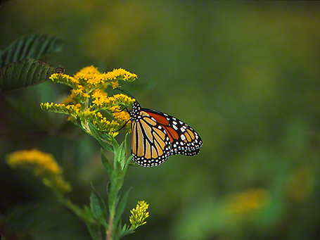 Monarch Butterfly on Goldenrod Blooms photographed by Jeff Zablow at Raccoon Creek State Park in Pennsylvania, 9/5/14