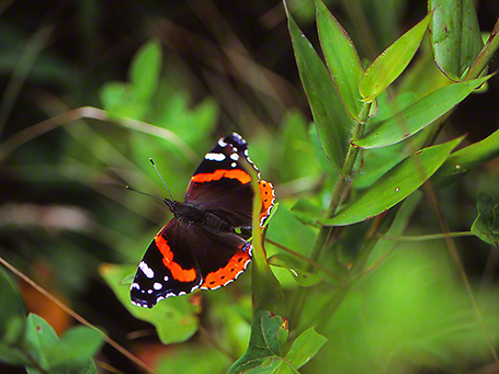 Close up of Red Admiral Butterfly photographed by Jeff Zablow as it was basking on a trail at Raccoon Creek State Park in Pennsylvania