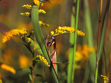 Mantid with forelimb in moth photographed by Jeff Zablow at Raccoon Creek State Park in Pennsylvania, 9/4/14
