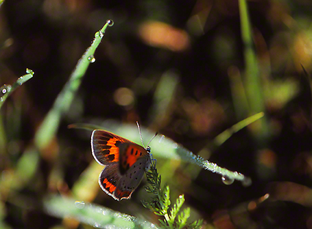 American Copper Butterfly photographed by Jeff Zablow at Raccoon Creek State Park in Pennsylvania, August 2014