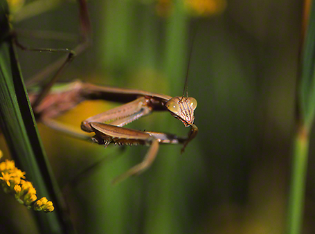 Mantid photographed by Jeff Zablow at Raccoon Creek State Park in Pennsylvania, 9/4/14