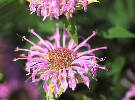 Bergamot Bloom photographed by Jeff Zablow at Raccoon Creek State Park in Pennsylvania 7/31/14