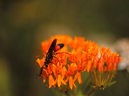 Wasp on Butterfly Weed, photographed by Jeff Zablow at Raccoon Creek State Park in Pennsylvania