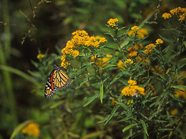 Monarch Butterfly on Goldenrod photographed by Jeff Zablow at Raccoon Creek State Park in Pennsylvania, 9/5/14