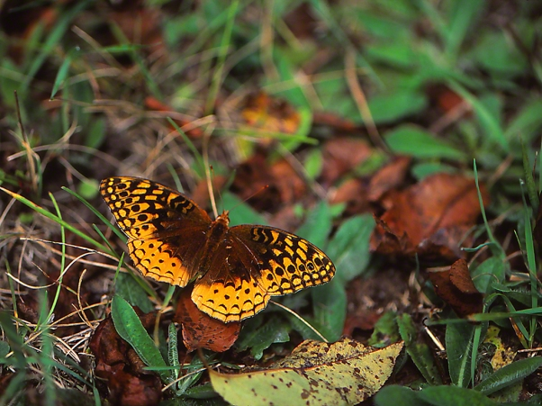 Great Spangled Fritillary Butterfly photographed by Jeff Zablow at Raccoon Creek State Park in Pennsylvania, 9/5/14