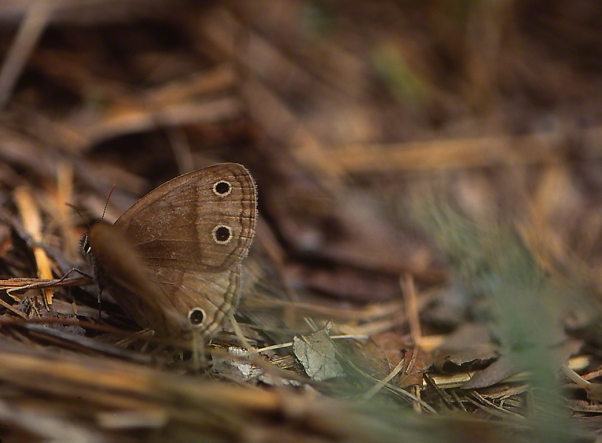 Little Wood Satyr Butterfly photographed by Jeff Zablow at Raccoon Creek State Park in Pennsylvania, August 2014