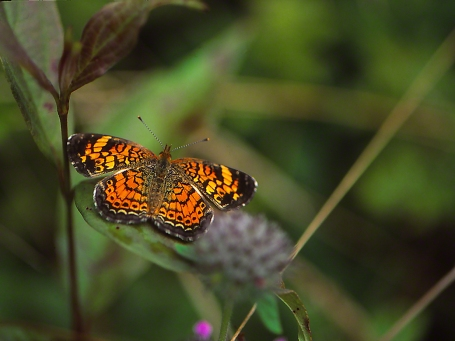 Pearl Crescent Butterfly photographed by Jeff Zablow at Raccoon Creek State Park in Pennsylvania, August 2014