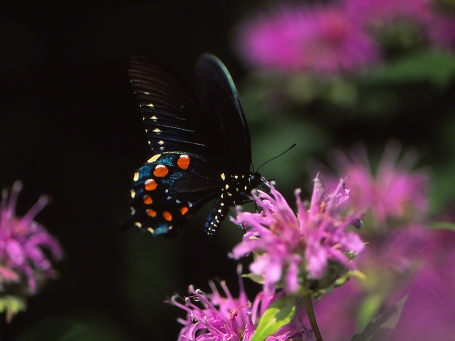 Pipevine Swallowtail Butterfly photographed by Jeff Zablow as it perched on Bergamot flower at Raccoon Creek State Park in Pennsylvania, 7/31/14