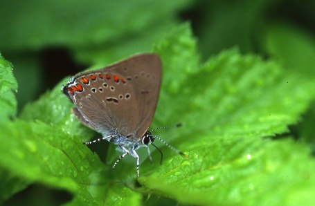 Coral HairstreakButterfly at Raccoon Creek State Park