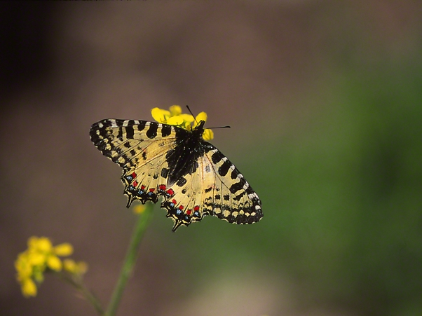 Allancastria Cerisyis butterfly (Protected), photographed by Jeff Zablow in Hanita, Israel