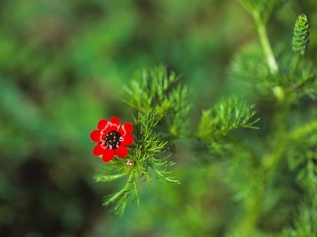 Adonis Palaestina wildflower, photographed by Jeff Zablow in Hanita, Israel