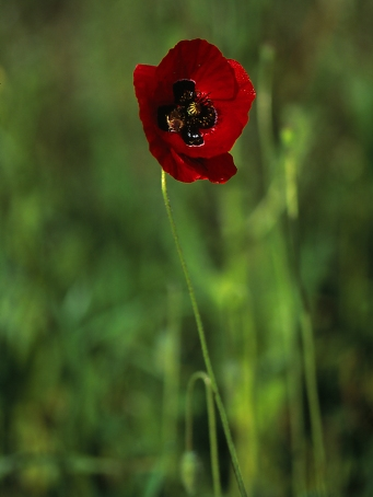 Papaver Umbonatum, Israel Corn Poppy, photographed by Jeff Zablow in Mishmarot, Israel