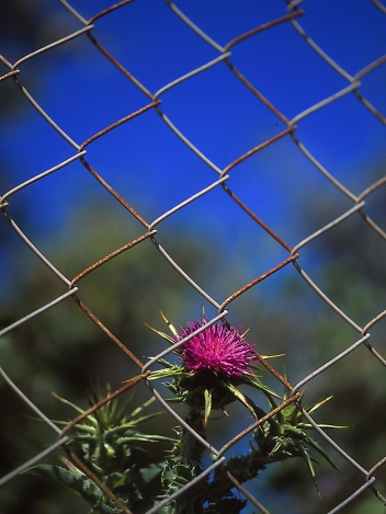 Thistle, photographed by Jeff Zablow in Mishmarot, Israel