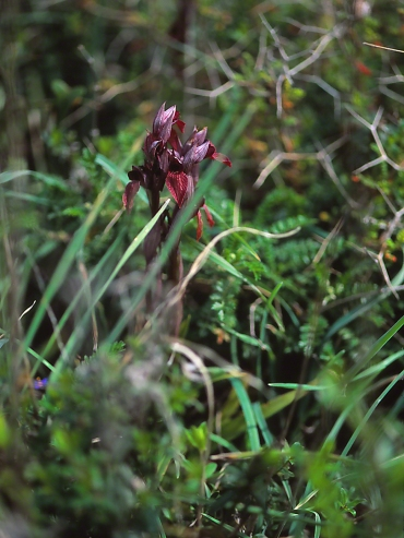 Snake Tongue Orchid (Protected), photographed by Jeff Zablow in Rosh Hanikra, Israel