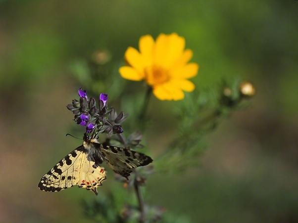 Allancastria Cerisyri butterfly, photographed by Jeff Zablow in Hanita, Israel