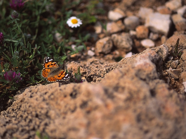 Painted lady butterfly, Vanessa Cardui, photographed by Jeff Zablow in Rosh Hanikra, Israel