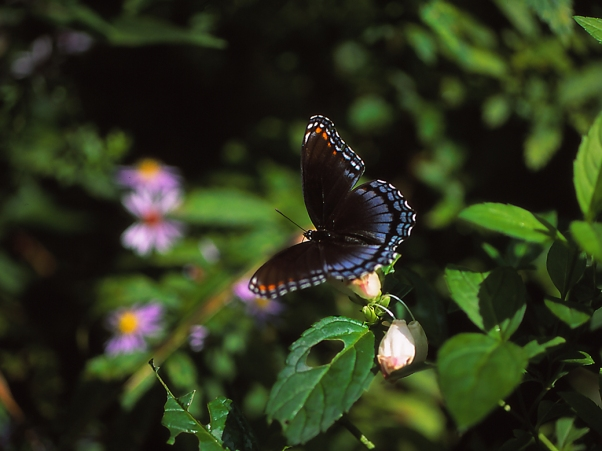 Red-spotted purple butterfly, photographed by Jeff Zablow in Raccoon Creek State Park, PA