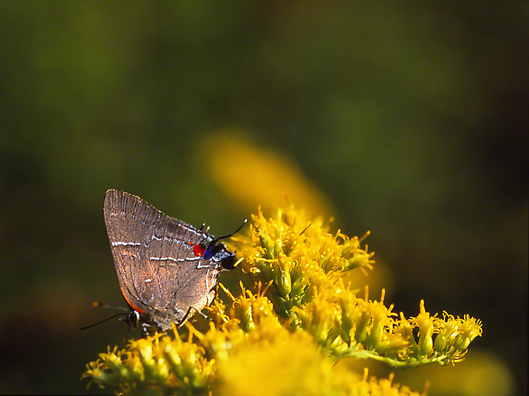 White M Hairstreak butterfly, photographed by Jeff Zablow in Raccoon Creek State Park, PA