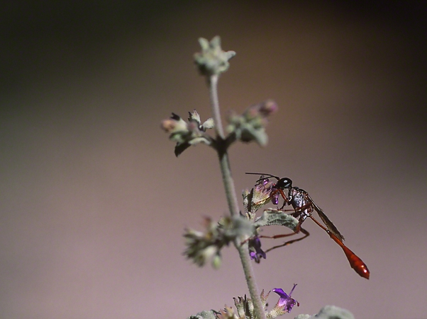 Darner-type fly, photographed by Jeff Zablow in White Tank Mts. Regional Park, AZ