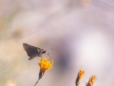 Skipper butterfly, photographed by Jeff Zablow in White Tank Mts., Regional Park, AZ