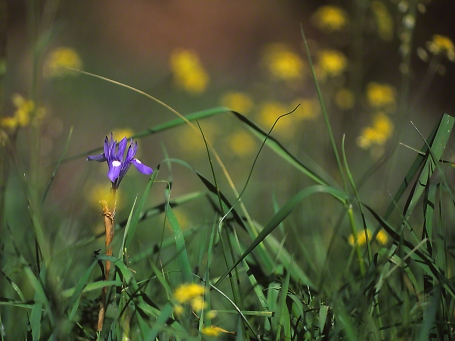 Iris, photographed by Jeff Zablow in Society for the Protection of Nature Hermon, Israel
