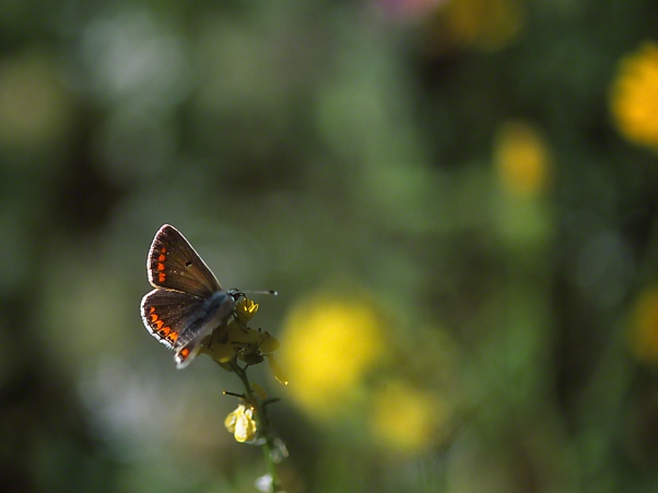 Aricia Agestis butterfly, photographed by Jeff Zablow on Qedesh trail, Israel