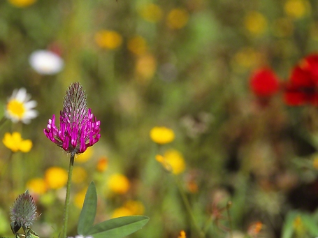 Purple clover, photographed by Jeff Zablow on Qedesh trail, Israel