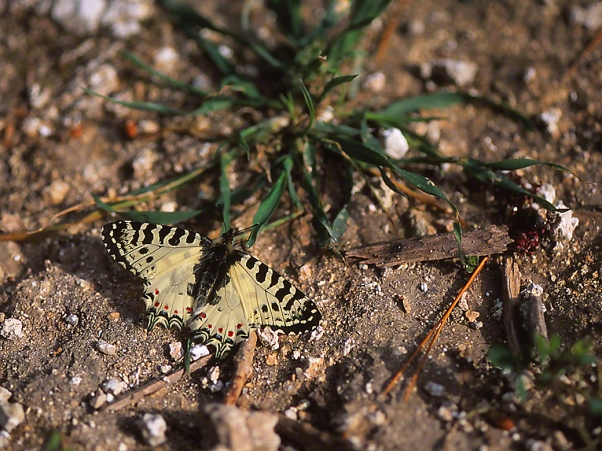 Allancastria Cerisyi butterfly, photographed by Jeff Zablow in Hanita, Israel