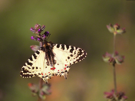 Allancastria Cerisyi Speciosa butterfly photographed by Jeff Zablow in Hanita, Israel