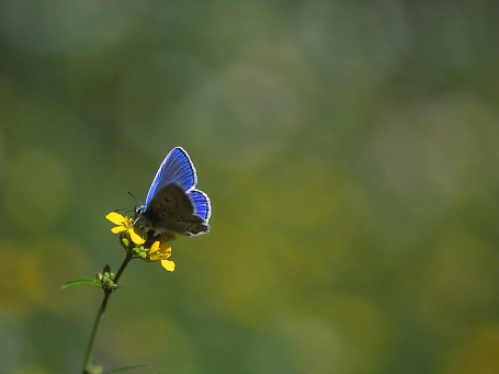 Blue butterfly, (dorsal view), photographed by Jeff Zablow on Qedesh trail, Israel